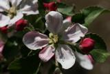 Braeburn Apple Blossom