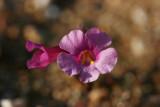 Tiny Desert Pink
