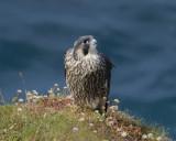 Peregrine Falcon ( falco peregrinus ) immature female, I think