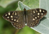 Speckled Wood - Pararge aegeria ; first this year but happy to hang about while I get 80-400+500D close up ring focussed