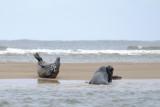 Seals on Blakeney point sandbar