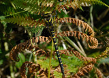 Golden-ringed Dragonfly - Cordulegaster boltonii - Zennor, Cornwall