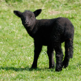 black sheep of the year 2010