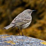 Pipit? do supply ID