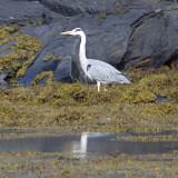 heron again