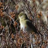 willow warbler on bog myrtle