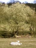 goat willow