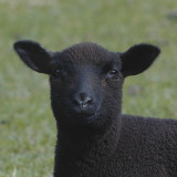 so what's wrong with being a black sheep?