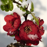 Japonica quince, a plant for all seasons