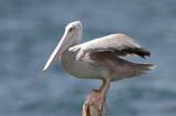 Pink-backed Pelican (Afrikansk pelikan) Pelecanus rufescens