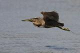 Striated Heron (Mangrovehäger) Butorides striata