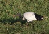 Sacred Ibis (Helig ibis) Threskiornis aethiopicus