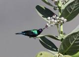 Shining Sunbird (Abessinsk solfågel) Cynnyris habessinicus