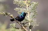 Purple Sunbird (Purpursolfågel) Cynnyris asiaticus