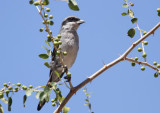 Southern Grey Shrike (Sydlig varfågel) Lanius meridionalis buryi