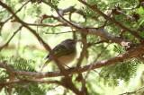 Brown Woodland-Warbler (Grönvingad sångare) Phylloscopus umbrovirens