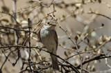 Spotted Flycatcher (Grå flugsnappare) Muscicapa striata