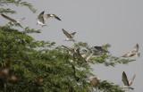 Whiskered Tern (Skäggtärna) Chlidonias hybridus