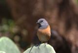 Little Rock-Thrush (Dvärgstentrast) Monticola rufocinereus