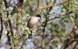 Arabian Warbler (Arabisk sångare) Sylvia leucomelaena
