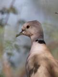 African Collared Dove ( Skrattduva) Streptopelia roseogrisea