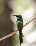 Little Green Bee-eater (Grön dvärgbiätare) Merops orientalis