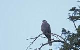 Red-eyed Dove (Rödögd duva) Streptopelia semitorquata