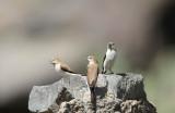 African Silverbill (Afrikansk silvernäbb) Euodice cantans