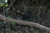 Black Scrub-Robin (Svart trädnäktergal) Cercotrichas podobe