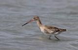 Black-tailed Godwit (Rödspov) Limosa limosa