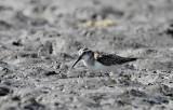 Broad-billed Sandpiper (Myrsnäppa) Limicola falcinellus