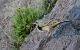 Long-billed Pipit (Långnäbbad piplärka) Anthus similis