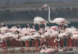 Lesser & Greater Flamingos( Phoenicopterus minor & roseus)