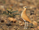 Cream-coloured Courser (Ökenlöpare) Cursorius cursor