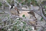 Socotra Sparrow (Sokotrasparv) Passer insularis