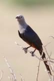 Somali Starling (Somaliglansstare)  Onychognathus blythii