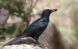 Socotra Starling (Sokotraglansstare) Onychognathus frater