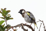 Socotra Golden-winged Grosbeak  (Guldvingad fink) Rhynchostruthus socotranus