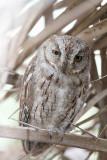 ´Socotra´ Scops Owl (Sokotradvärguv) Otus sunia/socotranus