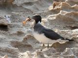 Sooty Gull (Sotmås) Larus hemprichii