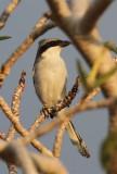 Southern Grey Shrike (Sydlig varfågel) Lanius meridionalis