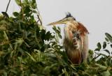 Bourne´s Heron Ardea purpurea bournei