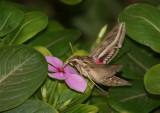 Silver-striped Hawk-Moth (Hippotion celerio)