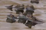 Common frog (Vanlig groda) Rana temporaria