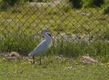Cattle Egret (Kohäger) Bubulcus ibis