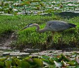 The Attack of the Great Blue Heron