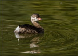 Juvenile Pied-billed Grebe