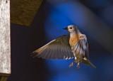 Western Blue Bird (female)