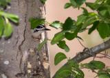 Hairy Woodpecker nest