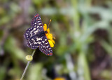 Anicia Checkerspots Butterfly